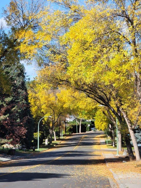 Yellow maples over street